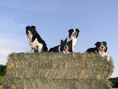 four short-coated black-and-white dogs on green hay under clear blue sky