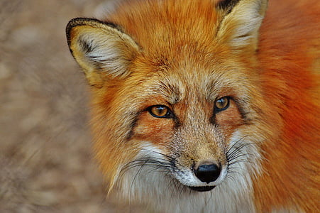 closeup photography of orange fox