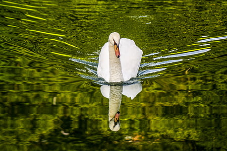 photo of white swan on body of wate