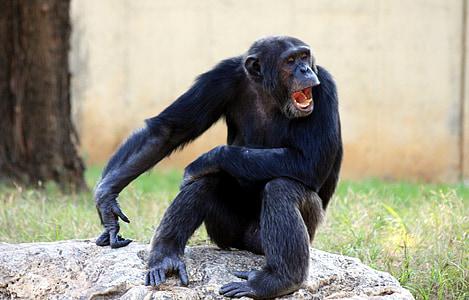 Gorilla sitting on gray rock