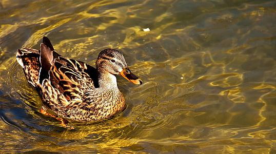 female mallard duck on body of water