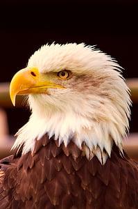 bald eagle close-up photography