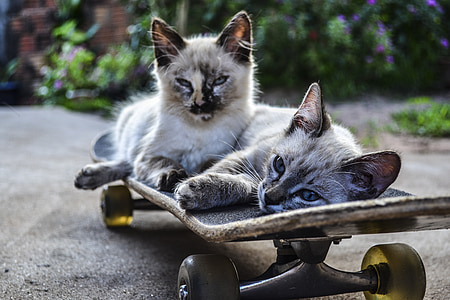 two siamese cats lying on skateboard