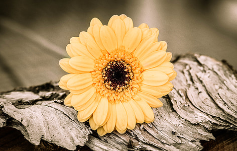 macro photography of yellow Gerbera flower