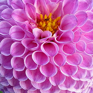 pink dahlia with close-up photography
