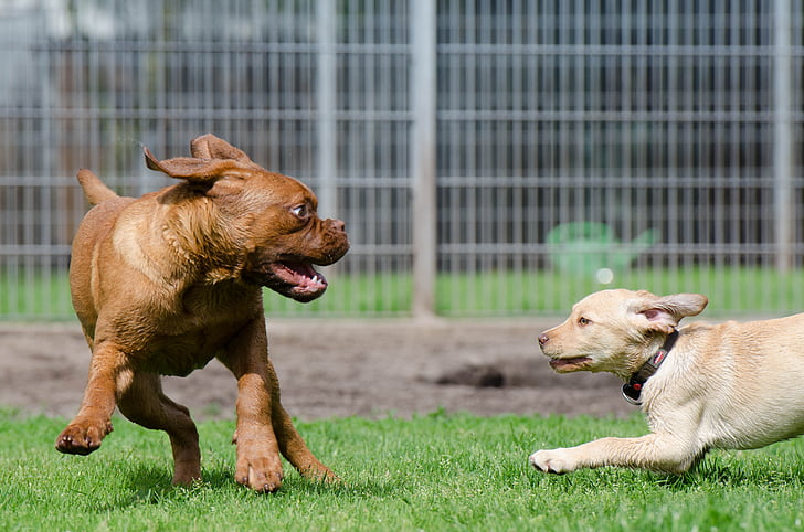 brown and white puppies playing on green grass field