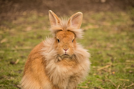 long-coated brown rabbit