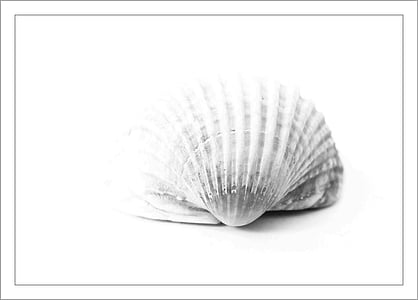 white seashell isolated with white background
