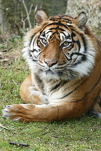 tiger on green grass