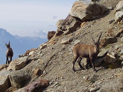 two brown antelopes beside mountain