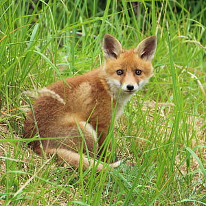 red fox sitting surrounded by green grass during daytime