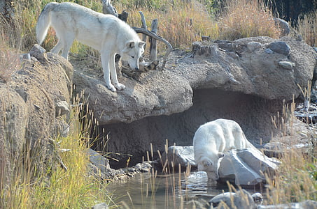 white wolf on river