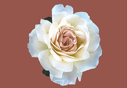 white and pink rose in bloom close up photo