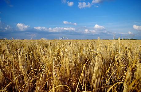 field, wheat, summer, landscape, grain, great plains