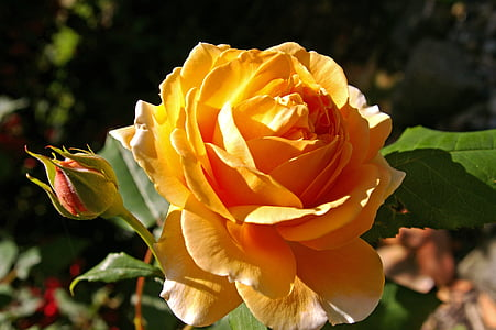 orange rose in bloom at daytime