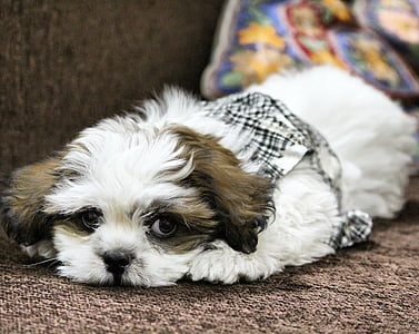 white and liver shih tzu puppy prone lying on sofa