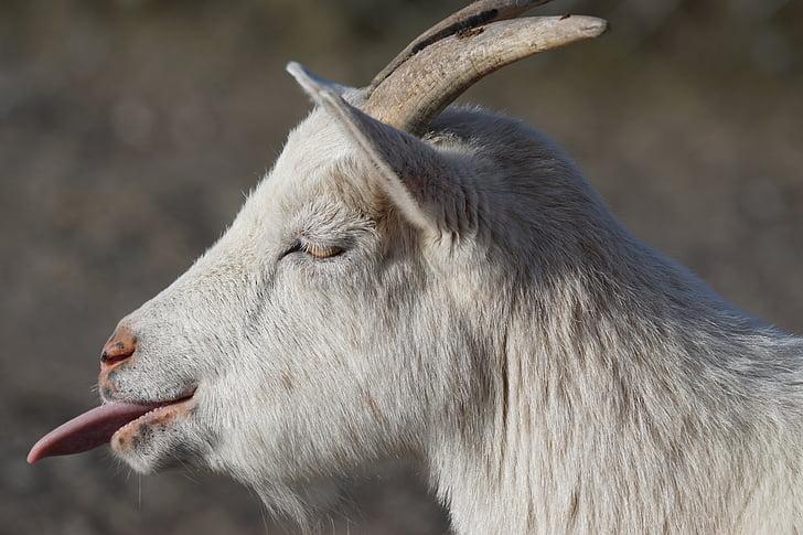 white goat showing tongue