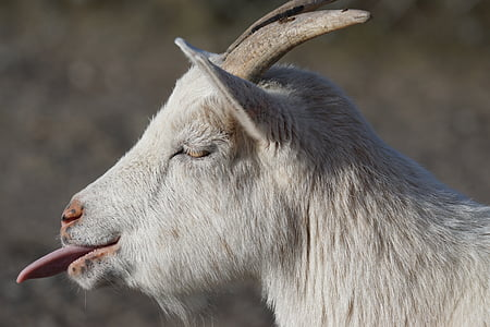 white goat showing tongue