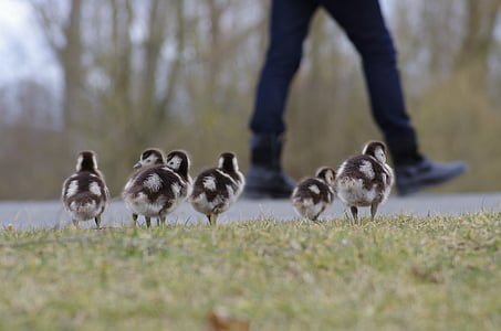 six black-and-white ducklings