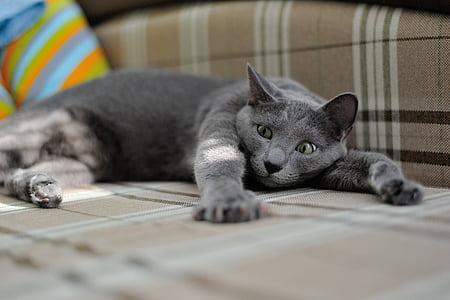 Russian Blue cat lying on floor