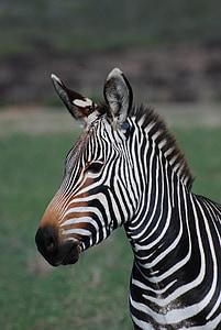 close up photo of zebra on field