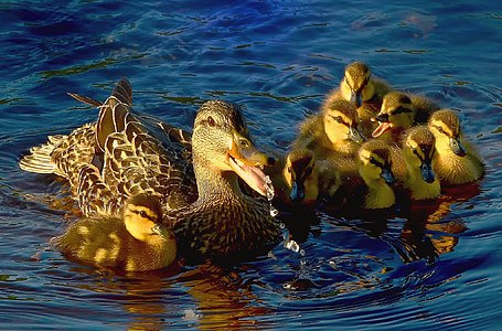 duck and duckling on body of water