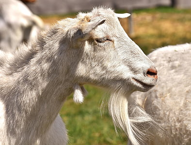 close-up photo of white goat