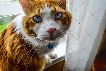 short-haired orange and white cat