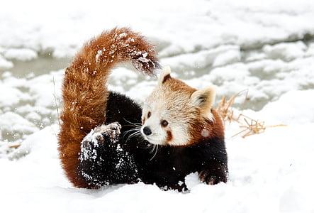 red panda on snow during daytime