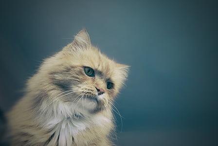 orange fur cat