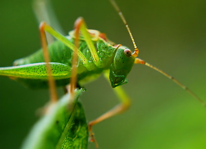 macro photography of green grasshopper on green leaf