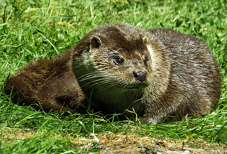 brown otter laying on grass field