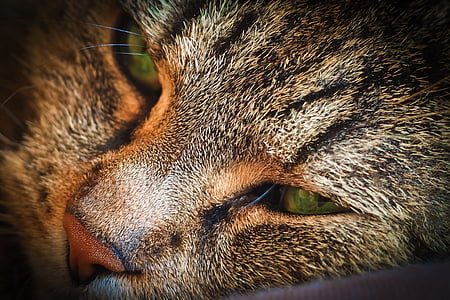 cat, animal, pet, cat's eyes, portrait, domestic cat