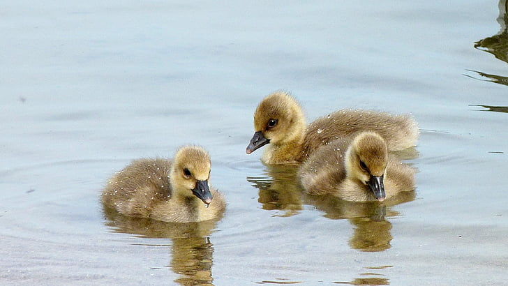 three brown-and-yellow ducklings on water
