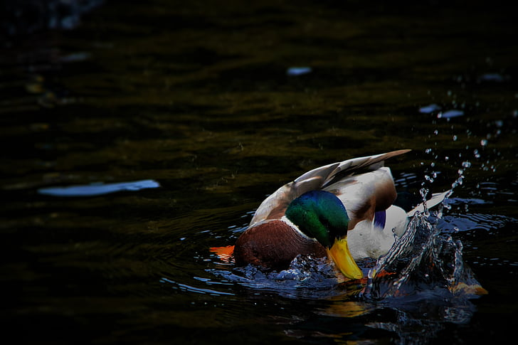 white, brown, and green mallard duck on body of water