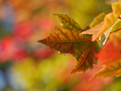 photography of maple leaf