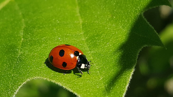 macro photo of orange and black ladybug on green leaf