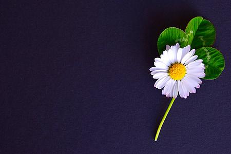 white chamomile flower in bloom