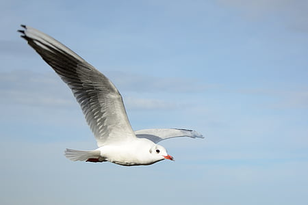 ring-billed gull flying under blue sky