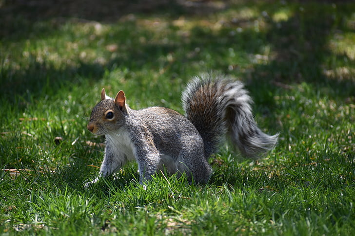 gray and brown squirrel walking on grass field