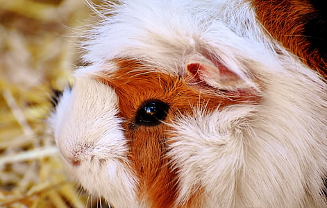 white and brown guinea pig