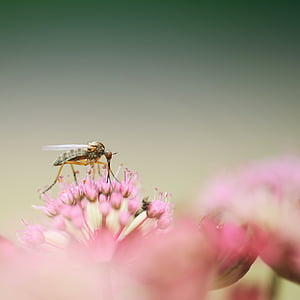 green robber fly on pink flowers