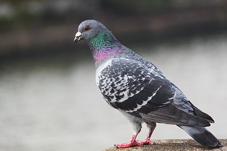selective focus photography of gray pigeon on brown pavement
