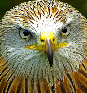 close up photo of brown and white eagle
