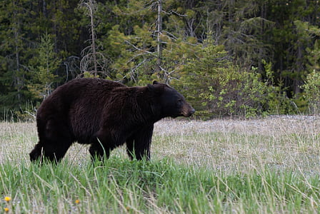 black wild bear on forest