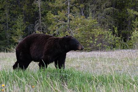 black wild bear on forest