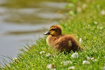brown duckling on green grass