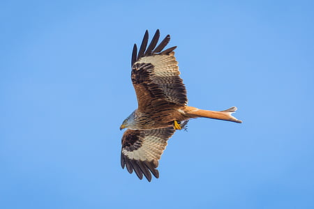 closeup photo of flying brown eagle
