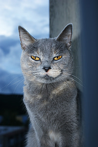 russian blue in shallow focus photography