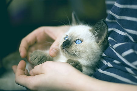 photo of Siamese cat on person hand